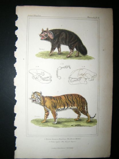 Cuvier C1835 Antique Hand Col Print. Brown Hyaena, Royal Tiger, 30 | Albion Prints